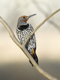 Gilded Flicker (Colaptes Chrysoides) Male  San Pedro Riparian Nat'l Conservation Area  Arizona