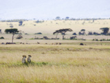 Cheetah (Acinonyx Jubatus) Mother and 22 Month Old Male Cub  Masai Mara Nat'l Reserve  Kenya