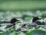 Common Loon (Gavia Immer) Mated Couple Swimming Among Water Plants  Wyoming