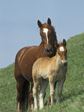 Horse (Equus Caballus) Mare with Foal on Grassy Slope  Italy