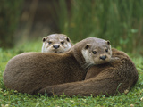 European River Otter (Lutra Lutra) Sisters Resting  Europe