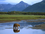Grizzly Bear (Ursus Arctos Horribilis) Crossing River  Katmai Nat&#39;l Park  Alaska