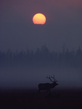 Elk or Wapiti (Cervus Elaphus) Silhouetted on Smoky Horizon  Yellowstone  Wyoming