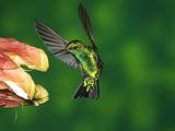 Western Emerald (Chlorostilbon Melanorhynchus) Hummingbird Feeding on Flower  Andes  Ecuador