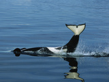 Orca (Orcinus Orca) Tail Slapping  Prince William Sound  Alaska