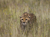 Cheetah (Acinonyx Jubatus) in Long Grass  Cheetah Conservation Fund  Otijwarongo  Namibia