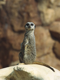 Suricate (Suricata Suricatta) also known as Meerkat  Sunning Itself on Rock  Native to Africa