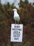 Herring Gull (Larus Argentatus) Adult Perched on 'Keep Out' Sign  Long Island  New York