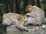 Barbary Macaque (Macaca Sylvanus) Pair Grooming  Native to Algeria and Morocco