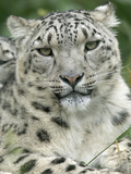 Snow Leopard (Uncia Uncia)  Endangered Native to Asia and Russia