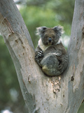 Koala (Phascolarctos Cinereus) in Eucalyptus Tree  Australia