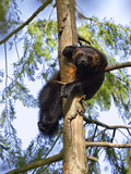Wolverine (Gulo Gulo) Resting in Tree  Native to North America and Europe