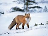 Red Fox (Vulpes Vulpes) in Winter  North America