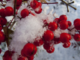 Snow on the Berries of a Heavenly Bamboo  Nandina Domestica  Plant