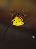 Spiny Spider (Gasteracantha Sp) in Web  East Kalimantan  Indonesia