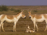 Indian Wild Ass (Equus Hemionus Khur) Parents with Calf  Rann of Kutch  Gujarat  India