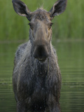 Moose (Alces Americanus) Female  Chena River  Alaska