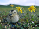 Whimbrel (Numenius Phaeopus) Chick on Tundra with Flowers  Alaska
