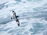 A Cape Petrel Flies over the Ocean