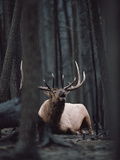 Elk or Wapiti (Cervus Elaphus) Bull Resting on Burned Forest Floor and Bugling  Yellowstone