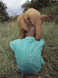 African Elephant (Loxodonta Africana) Orphan Playing  Tsavo East National Park  Kenya