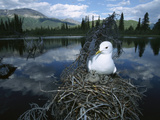 Mew Gull (Larus Canus) on Nest in Tree with Two Chicks  Boreal Pond Habitat  Alaska