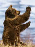 Grizzly Bear (Ursus Arctos Horribilis) Playing  Montana