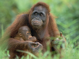 Orangutan (Pongo Pygmaeus) Mother with Baby  Tanjung Puting National Park  Borneo