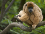 Black Howler Monkey (Alouatta Caraya) Female Resting in Tree  Native to South America