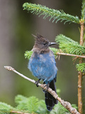 Steller's Jay (Cyanocitta Stelleri) in Pine  Mount Rainier National Park  Washington