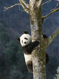 Giant Panda (Ailuropoda Melanoleuca) Climbing Tree  Endangered  Wolong Valley  China