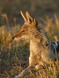 Black-Backed Jackal (Canis Mesomelas) Africa