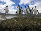 King Penguins Stand Along a Freshwater Stream