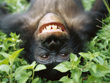 Bonobo or Pygmy Chimpanzee (Pan Paniscus) Smiling While Laying on Ground