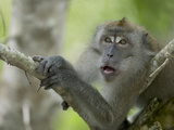 Long-Tailed or Crab-Eating Macaque (Macaca Fascicularis) in Tree  Malaysia