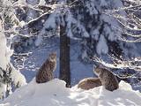 Eurasian Lynx (Lynx Lynx) Trio Resting in Snow  Bayerischer Wald National Park  Germany
