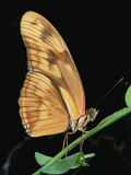 Julia Butterfly (Dryas Iulia) Hanging from Stem  Central America