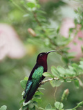 Purple-Throated Carib (Eulampis Jugularis) Hummingbird  Perching  Lesser Antilles
