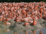 Greater Flamingo (Phoenicopterus Ruber) Nesting Colony with Mud Nests  Caribbean