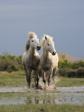 Camargue Horse (Equus Caballus) Pair Running in Water  Camargue  France