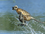 Hanuman or Grey or Common Langur (Semnopithecus Entellus) Crossing a River  India