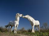 Camargue Horse (Equus Caballus) Stallions Interacting  Camargue  France