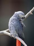 African Grey Parrot (Psittacus Erithacus) Preening  East Africa