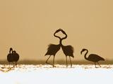 Greater Flamingo (Phoenicopterus Ruber) Interacting at Sunrise  Camargue  France