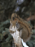 Red Squirrel (Tamiasciurus Hudsonicus) Boreal Forest  Alaska