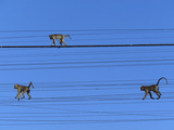 Long-Tailed or Crab-Eating Macaque (Macaca Fascicularis) Trio on Telephone Lines