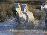 Camargue Horse (Equus Caballus) Group Running in Water  Camargue  Southern France