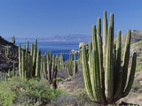 Cardon Cactus (Pachycereus Pringlei) Landscape  Baja California  Mexico