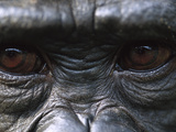 Bonobo Chimpanzees (Pan Paniscus) Close-Up of Eyes  Democratic Republic of the Congo
