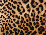 Jaguar (Panthera Onca) Fur  Close-Up of Patterned Detail  Washington Park Zoo  A354Oregon